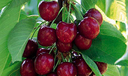 Benton Cherries