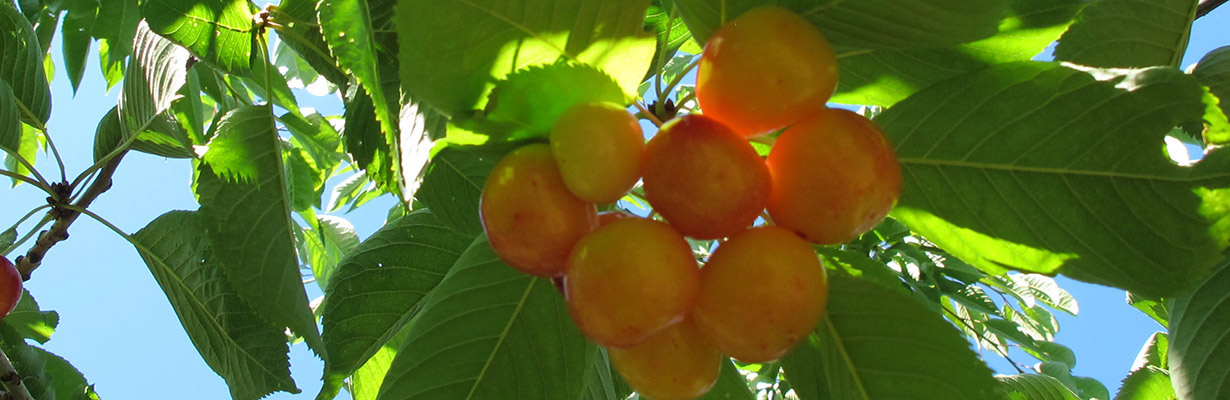 Ranier Cherries
